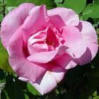 The Mc Cartney Rose