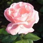 The Queen Elisabeth Rose
